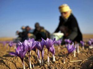 producing quality saffron 1