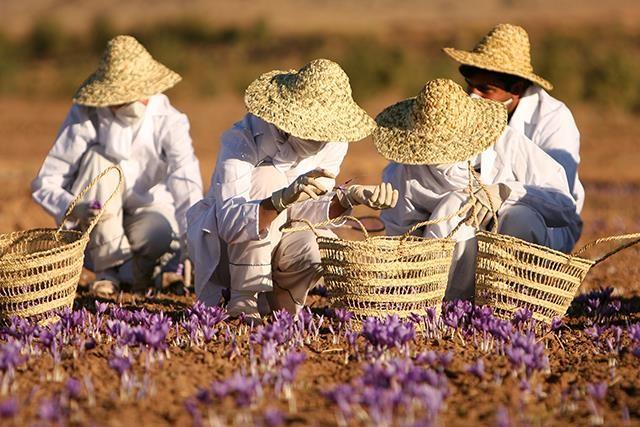 producing quality saffron 4