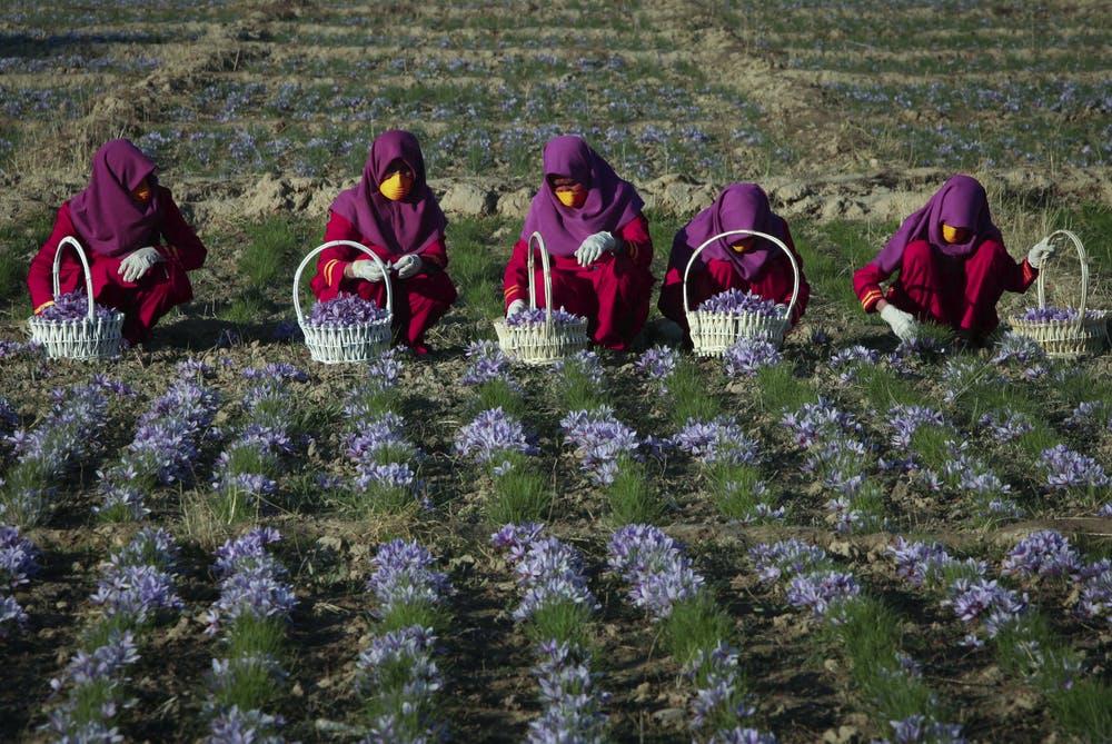 تغليف الزعفران في أفغانستان