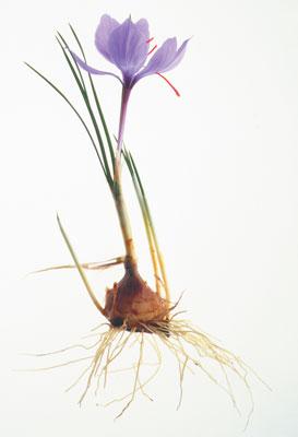 saffron packaging in Afghanestan