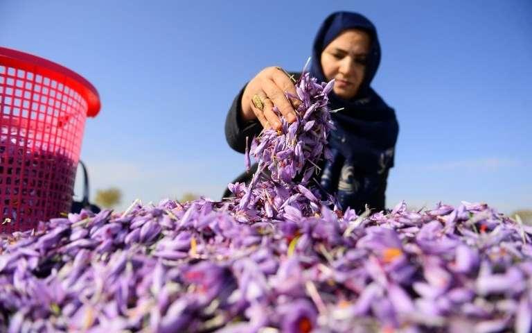 saffron packaging in Afghanistan